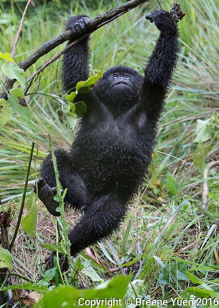 Gorilla Climbing3  Rwanda 2015