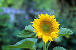 Sunflower in a garden, Brunswick, Maine, USA