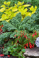 Vegetable dinosaur kale, Coleus Solenostemon Pineapple Queen, Begonia Romance, three annual plants in combination together aka Cavalo Nero kale