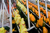 A worker sorts the the orange roses in the packaging hall of a flower farm in Cayambe, Ecuador, 23 June 2010. South American countries (Colombia and Ecuador) are world leaders in cut flower industry. The advantage of the moderate sunny climate, very cheap labor force in combination with the absence of social laws and environmental regulations have created perfect conditions for the cut flower production. Flower growing is very fragile and necessarily depends on irrigation and chemical maintenance, provided by highly toxic pesticides. About 50.000 workers in Ecuador, working mainly for living minimum wage, keep the floral industry going and saturate the market generated by consumerist culture the US, Canada and Europe.