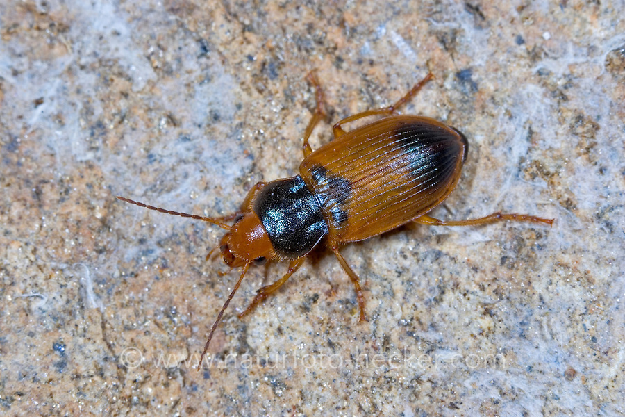 Blauhals-Schnellläufer, Bunter Schnellläufer, Herz-Laufkäfer, Blauhals-Schnelläufer, Bunter Schnelläufer, Diachromus germanus, ground beetle
