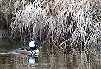 Hooded mergansers can also be seen at Reifel Bird Sanctuary.