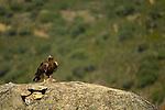 Golden Eagle (Aquila chrysaetos), Castilla y Leon, Spain
