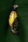 Tree Nymph Butterfly, Idea leuconoe, pupae or chyrsalis, , yellow and black colour, South Asia.Borneo....