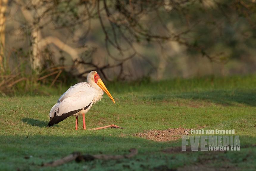 Yellow-billed Stork resting (Mycteria ibis).. Ndumo Game Reserve, Kwazulu-Natal, South Africa. November 2010.