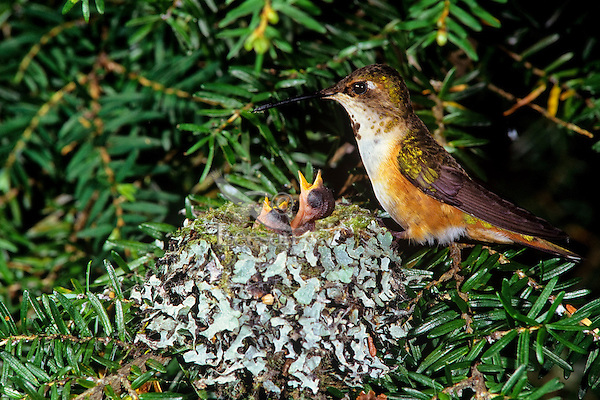 B4464  Rufous Hummingbird nest, Pacific Northwest, May.