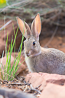Rabbits, Hares and Pikas (Lagomorphs)