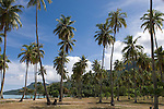 Temae Beach, Moorea, French Polynesia; a grove of palm trees at Temae Beach , Copyright © Matthew Meier, matthewmeierphoto.com All Rights Reserved