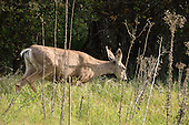 Stock photo of Mule Deer