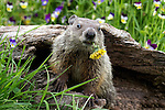 Cute groundhog baby sitting in front of colorful flowers munching on a dandelion.<br /> <br /> Available sizes:<br /> 18&quot; x 12&quot; print <br /> 18&quot; x 12&quot; canvas gallery wrap <br /> 24&quot; x 16&quot; print<br /> See Pricing page for more information Available as a mousepad or as a greeting card. Also available as a mousepad or greeting cards.