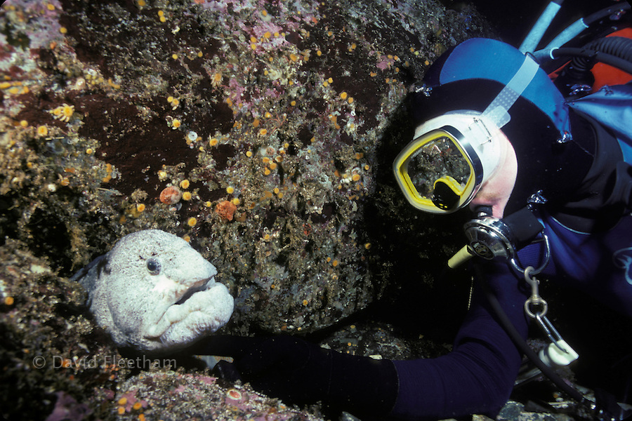 Diver (MR) and a wolf-eel, Anarrhichthys ocellatus, British Columbia, Canada.