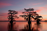 Sunset on the Bayou Lake Fausse Pointe, Atachafalaya Basin, Louisiana. The silhouette of these cypress trees exhibits the environment problem of Louisiana's receding marshes and swampland. The trees used to be a part of the adjacent swampland forest.