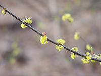 Lady bug on a flowering twig
