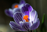 Crocuses bloom in Gardnerville, Nev. on Saturday, Feb. 27, 2016.<br /> Photo by Cathleen Allison