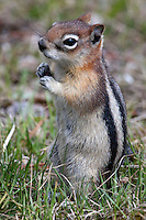 The golden-mantled ground squirrel (Callospermophilus lateralis) is a type of ground squirrel found in mountainous areas of western North America. It eats seeds, nuts, berries, insects, and underground fungi. It is preyed upon by hawks, jays, weasels, foxes, bobcats, and coyotes. A typical adult ranges from 9 to 12 inches in length. The golden-mantled ground squirrel can be identified by its chipmunk-like stripes and coloration, but unlike chipmunks, it lacks any facial stripes. It is commonly found living in the same habitat as chipmunks.