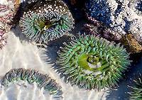 GREEN SEA ANEMONES LIE IN A TIDAL POOL ALONG THE PACIFIC OCEAN COASTLINE AT MONTEREY, CALIFORNIA