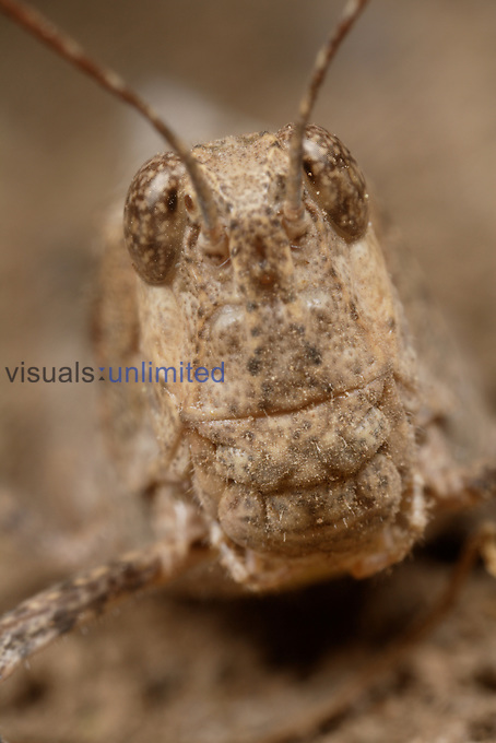 Brown Grasshopper (Trimerotropis) showing face with compound eyes.