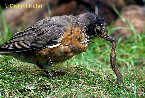 RO07-004z   American Robin - young catching prey, a  worm - Turdus migratorius
