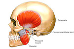 This medical exhibit features the anatomy of the .Temporomandibular Joint (TMJ).