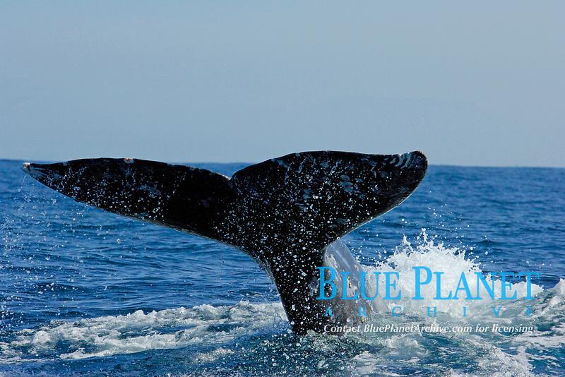 gray whale fluke, Eschrichtius robustus, Off the coast of San Diego, California, USA, Pacific Ocean