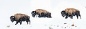 Male American Bison (Bison bison) walking through deep snow in a snow storm. Hayden Valley, Yellowstone National Park, Wyoming, USA. January
