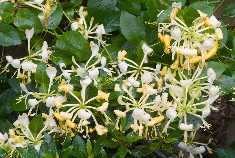 Lonicera periclymenum 'Scentsation' in yellow and white fragrant scented garden flowers, climbing vine