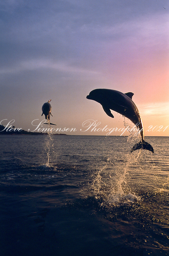 Dolphins jumping out of the water<br /> Roatan<br /> Honduras