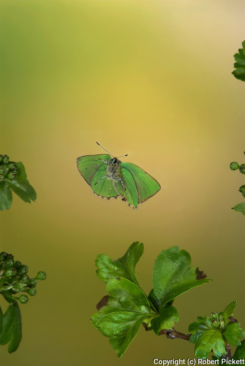 Green Hairstreak Butterfly, Callophrys rubi, in flight, over Hawthorn, High Speed Photographic Technique, flying, mid flight, wings open,.United Kingdom....