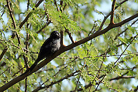Stock image of an Indian Black Drongo sitting on a thorny tree branch.