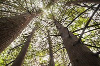 Looking up into the canopy of a cedar forest, with the trees spiring like a cathedral overhead.