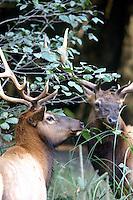 Elk - Roosevelt