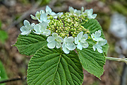 Hobblebush -Viburnum lantanoides - during the spring months on the side of a hiking trail in New Hampshire USA.
