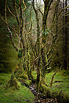 Dead trees in a woodland with green moss i nEngland