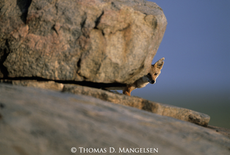 Golden Jackal peeking out from behind a boulder.
