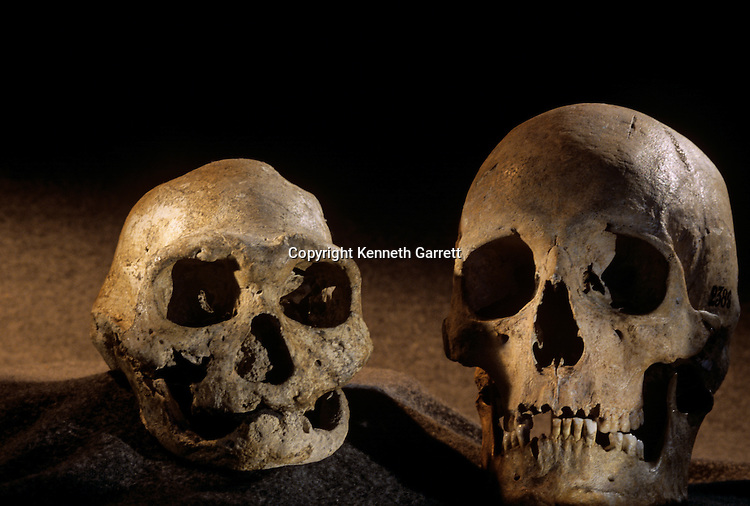 Homo erectus skull, toothless, and modern human skull, Dmanisi, 1.8 million year old hominins, Republic of Georgia.