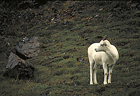 Dall sheep ewe. Alaska USA Denali National Park.