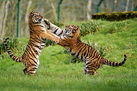 BNPS.co.uk (01202 558833)<br /> Pic: CalebHall/Longleat/BNPS<br /> <br /> Tigers playfight... <br /> <br /> Longleat Safari Park has been showing the public what they've been missing during the lockdown by releasing a candid collection of pictures of their famous collection of big cats.<br /> <br /> The Wiltshire park is currently closed to the public due to COVID-19 but has been giving animal lovers an insight into the animals.<br /> <br /> They have snapped the iconic lions in a number of spots around their enclosure as well as a series of photographs of their tigers.