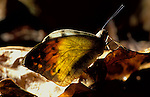 Giant Orange Tip Butterfly, Hebomoia glaucippe, on forest floor, backlight, Thailand.South Asia....