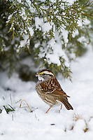01598-00807 White-throated Sparrow (Zonotrichia albicollis) on ground near Juniper tree (Juniperus keteleeri) in winter Marion Co. IL