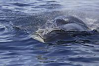 Head on view of Fin Whale Balaenoptera physalus feeding on Krill Thysanoessa inermis Spitsbergen Arctic Norway North Atlantic