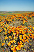 Antelope Valley Poppy Reserve covered in yellow orange blooming poppies.vertical Flowers, flower, flowering plants. California United States Antelope Valley.