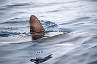 common thresher shark, Alopias vulpinus, Santa Monica Bay, Los Angeles County, California, USA, Pacific Ocean
