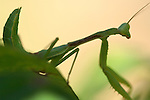 Mantis on leaf, Close portrait, California Mantis male, Stagmomantis californica, Praying Mantis, Southern California