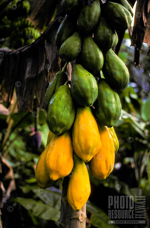 A huge stalk laden with ripening papayas on the Big Island of Hawaii.