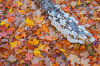 sugar maple leaves (Acer saccharum) and log covered with bracket fungi in autumn, Fairbank Provincial Park, Ontario, Canada