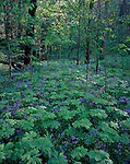 Phlox & Mayapple, White Oak Sink - from GSMA scan for 2008 Smokies calendar