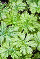 Geranium phaeum Margaret Wilson variegated foliage leaves