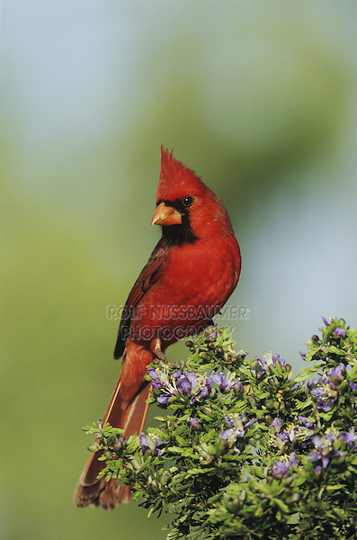 Northern Cardinal (Cardinalis cardinalis),male on blooming Guayacan (Guaiacum angustifolium), Starr County, Rio Grande Valley, Texas, USA