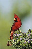 Northern Cardinal (Cardinalis cardinalis),male on blooming Guayacan (Guaiacum angustifolium), Starr County, Rio Grande Valley, Texas, USA