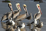 Brown pelicans and gulls in Gaviota State Park